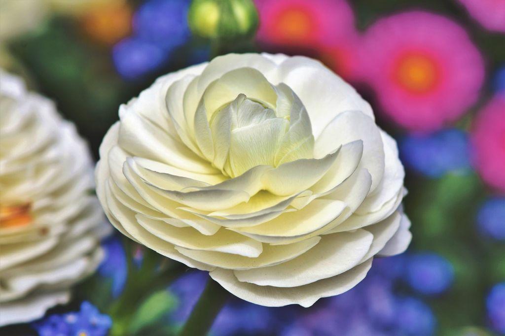ranuncolo fiore