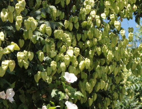 Come coltivare Koelreuteria paniculata