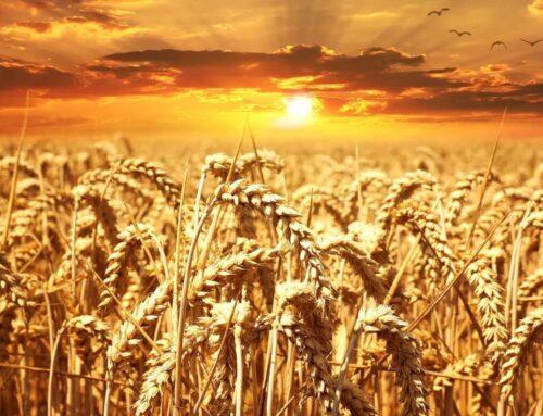 Come coltivare grano o frumento