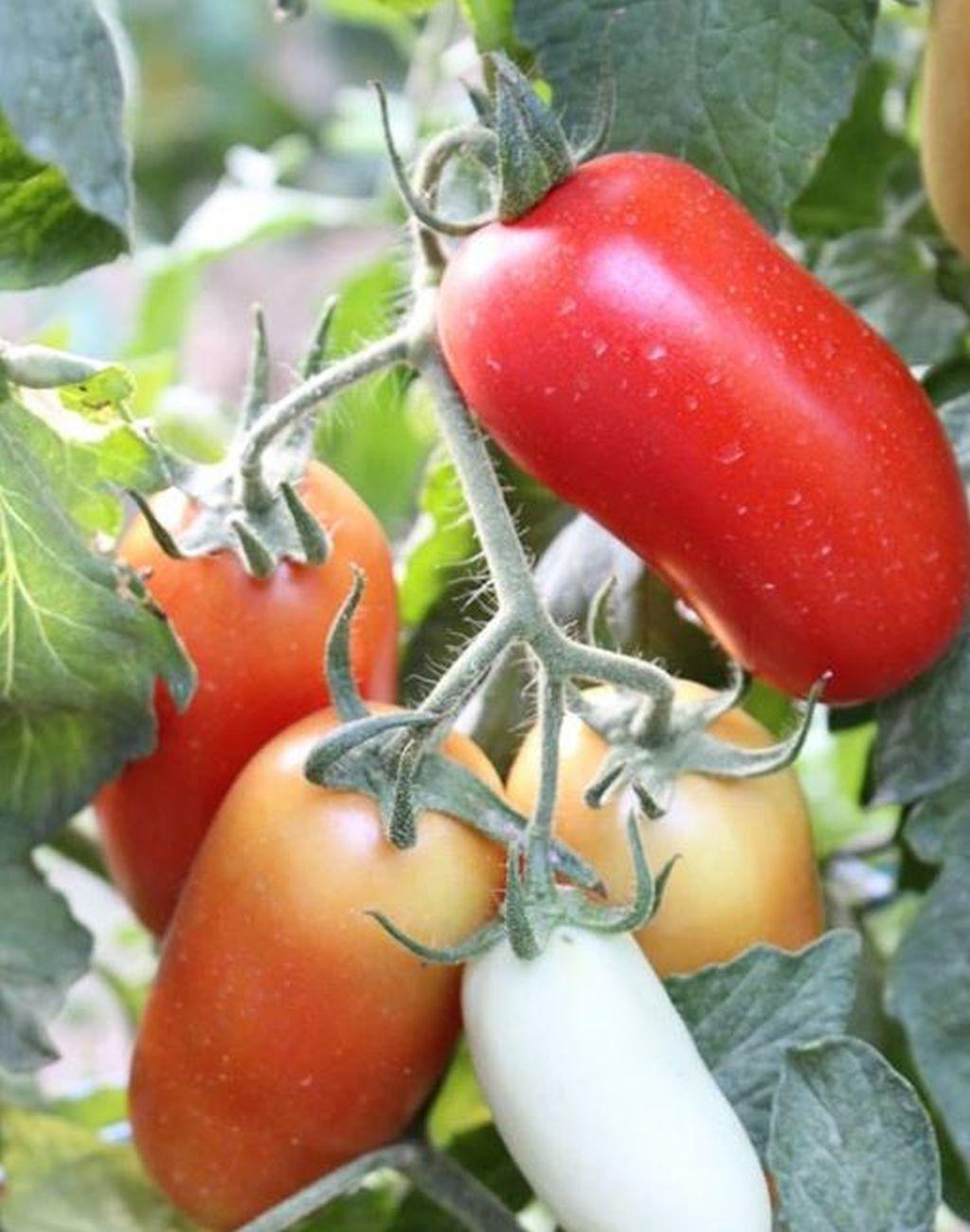 coltivare pomodori san marzano